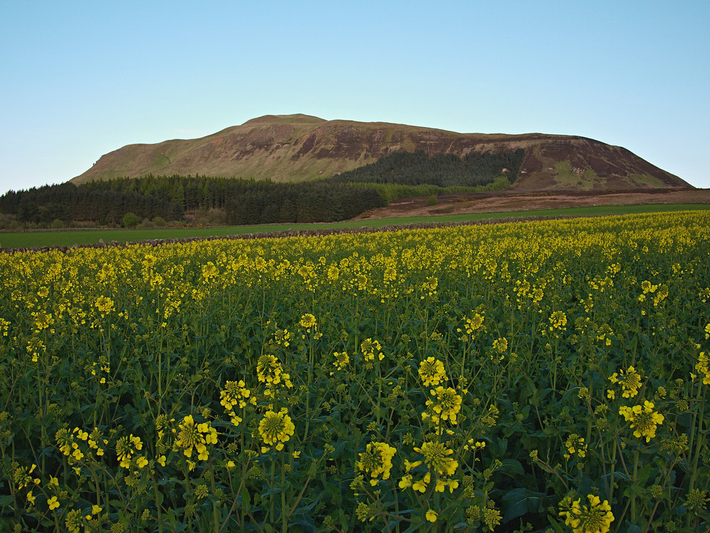 Rape field, West Lomond