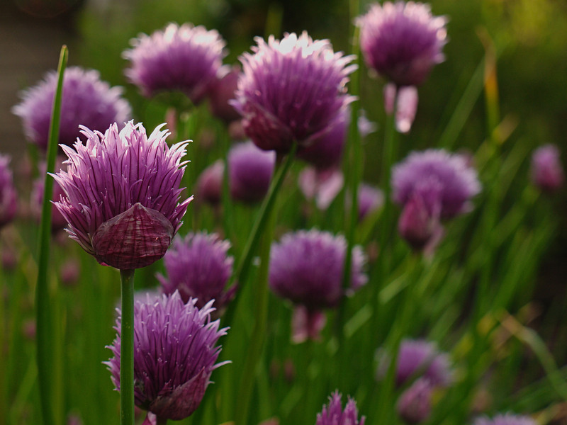 Evening chives