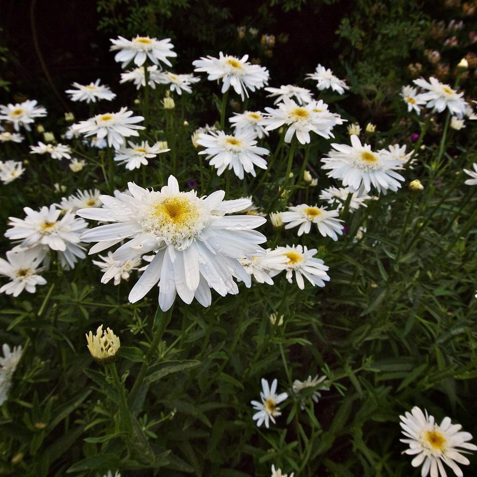 Sasha daisies