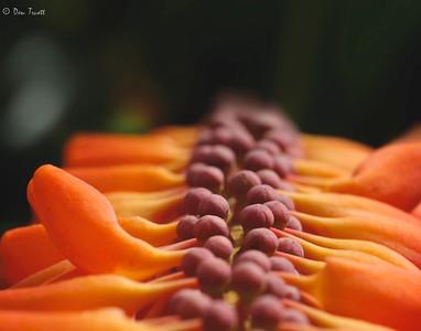 Norantea guianensis