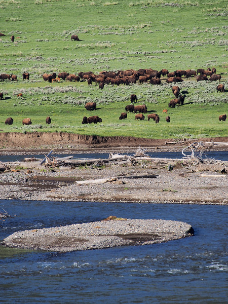 Bison herd, Lemar Valley, Yellowstone NP