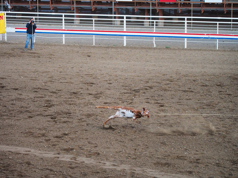 Caught!,  Cody Nite Rodeo, Cody WY