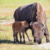 Bison calf and mother, Midway Geyser Basin