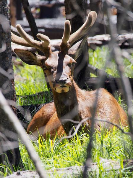 Resting bull elk, Yellowstone NP