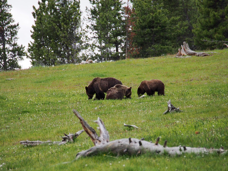 The three bears, Hayden Valley, Yellowstone NP