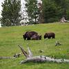 The three bears, Hayden Valley, Yellowstone NP