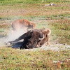 Rolling bison cow with calf, Midway Geyser Basin, Yellowstone NP