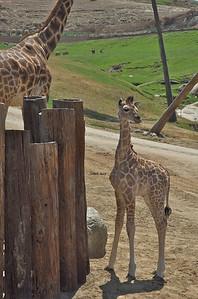 I'm a cute baby giraffe. Get over it!