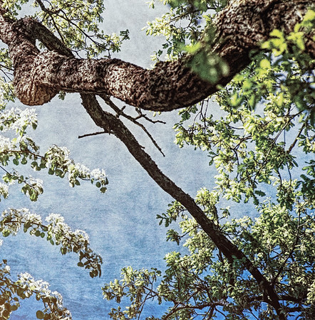 Blooming Arms (Apple Tree)