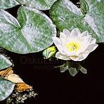 Lotus Flower (The Sun is Reflecting Billion Times)