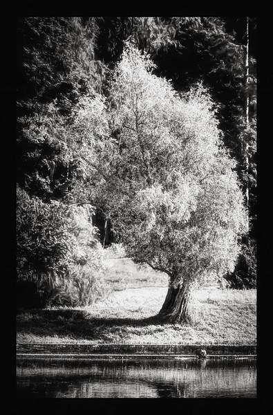Lila Tree on a River Bank (Grow equally Up and Down) BW