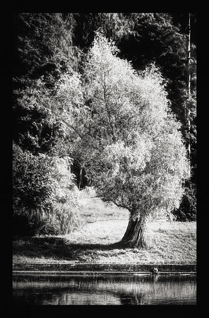 Lila Tree on a River Bank (Grow equally Up and Down) BW