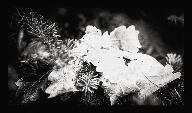 Oak Leaves BW