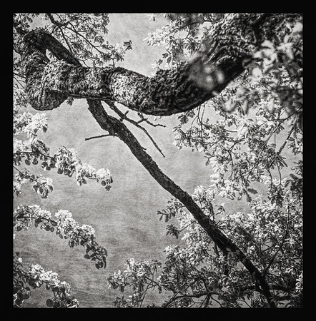 Blooming Arms (Apple Tree) BW