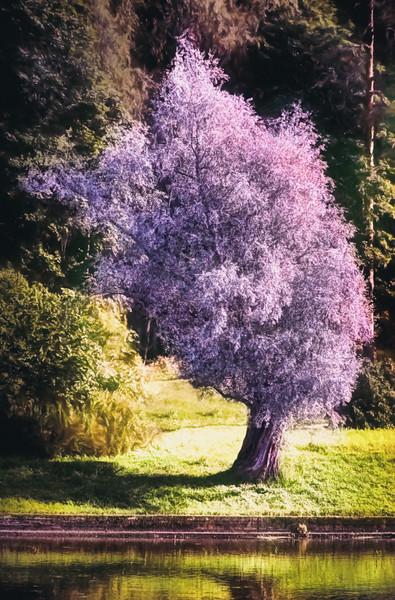 Lila Tree on a River Bank (Grow equally Up and Down)
