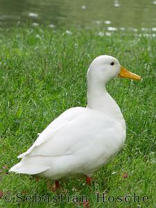 2004-05-27_01343 Gans goose