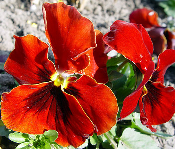 2004-04-02_00797 Red Flower Rote Blume flor roja