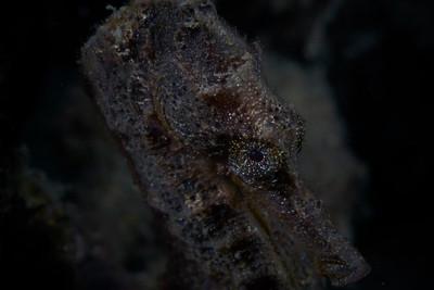 Common Seahorse (Hippocampus taenioptenus)