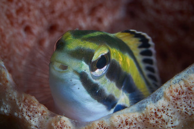 Shorthead Fangblenny (Petroscirtes breviceps)