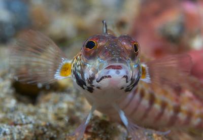 Longfin Grubfish (Parapercis sp)