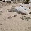 Presumptuous marmot.