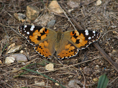 Painted Lady Butterfly, UK