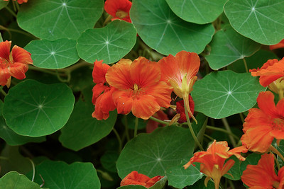 Nasturtiums on a dull day. Pat Heung, N.T. HK.
