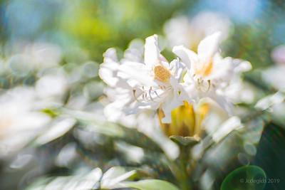 Rododendron_LB_Sw35_9000c_JD_LEO0419BO