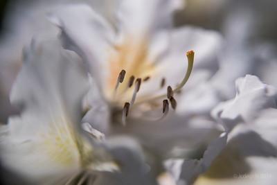 Rododendron_LB_Sw35_+10_8978c_JD_LEO0419BO