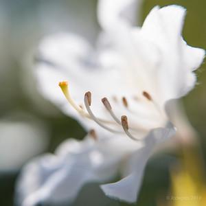 Rododendron_LB_Sw35_+10_8986c_JD_LEO0419BO