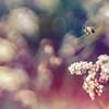 Buckwheat Bee