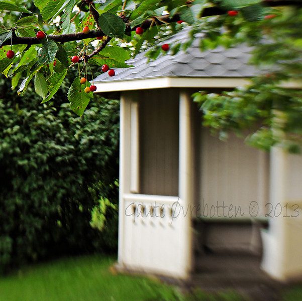 Kirsebær i Prestegardshagen (Cherries in the old vicarage garden)