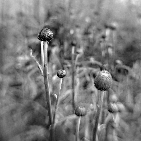 """Kvitbladtistel (Cirsium heterophyllum) - Converted to BW in Silver Efex Pro 2, cropped in PSE10. Added noise to """"hide"""" artefacts due to using ISO 1600."""