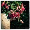 Tåre<br /> Fuchsia