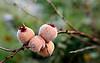 Eldkvede (Chanomeles japonica)