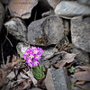 Vår i hagen (Spring in my garden)<br /> Garden primula - Lensbaby Sweet 35, cropped to square.