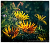 Gazania<br /> Gazania jungle