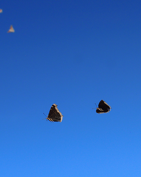 Butterflies in flight
