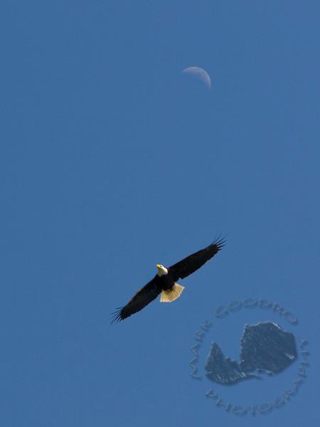 Bald Eagle over the Hood Canal