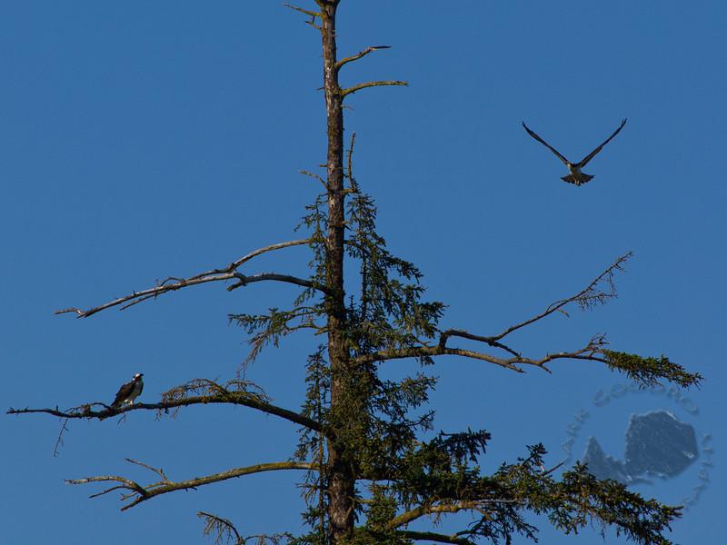 Osprey on the Dosewallips Delta, Dosewallips State Park