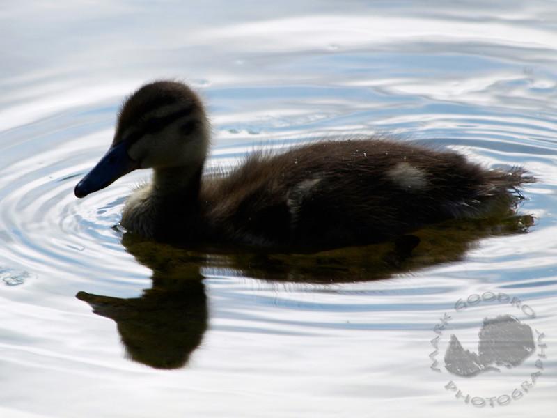 Baby Mallard. Bainbridge Island, Washington.