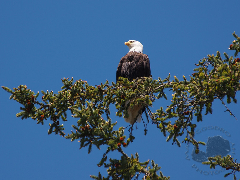 Bald Eagle in the Washington Coast, Olympic National Park