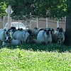 Sheep at the former Leominster landfill.<br /> Sentinel & Enterprise / Jim Fay