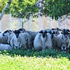 The sheep at the former Leominster landfill were watching the drone search for lost lambs on Saturday.<br /> Sentinel & Enterprise / Jim Fay