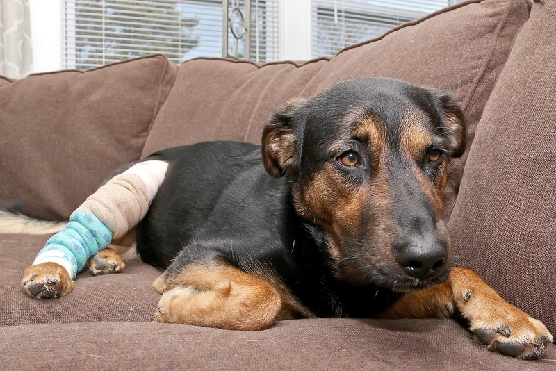 You can see the injured leg of Gibson a German shepherd chow mix as he eats a treat at his home in Leomister. The injury happened while he was at Petopia Doggie Daycare in Leominster recently. SENTINEL & ENTERPRISE/JOHN LOVE