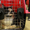 A vaccinations and microchipping for your pet was held at the Leominster Emergency Management building on Saturday, September 29, 2018. Reese, 6, a calico cat from Fitchburg waits inside her cat carrier for her turn to get a microchip. SENTINEL & ENTERPRISE/JOHN LOVE