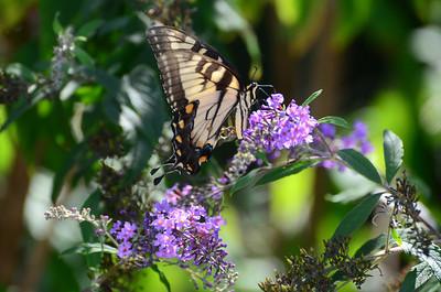 Appalachian Tiger Swallowtail