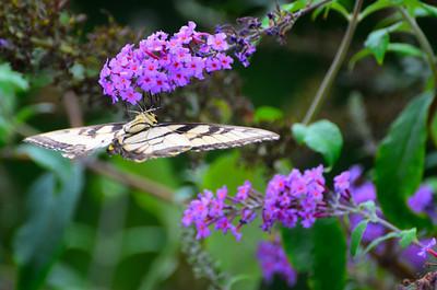 Appalachian Tiger Swallowtai