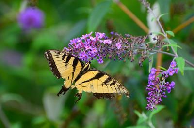 Canadian tiger swallowtail Eastern tiger swallowtail