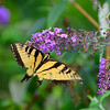 Canadian tiger swallowtail Eastern tiger swallowtail